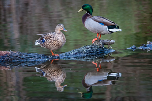 Mallard Pair - with reflections