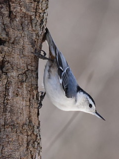 White-breasted Nuthatch, Sitta carolinensis (11) | by Herman Giethoorn