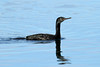 Phalacrocorax pelagicus (Pelagic Cormorant) - Semiahmoo, WA by Nick Dean1