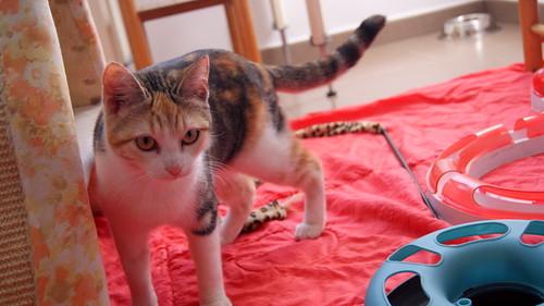 Zoe, gatita tricolor jaspeada divertida y guapa esterilizada, nacida en Septiembre´18, en adopción. Valencia. 33274714038_4926904ea1
