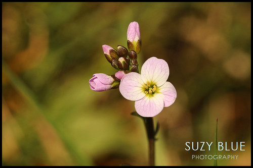 Cuckooflower | by suzypud