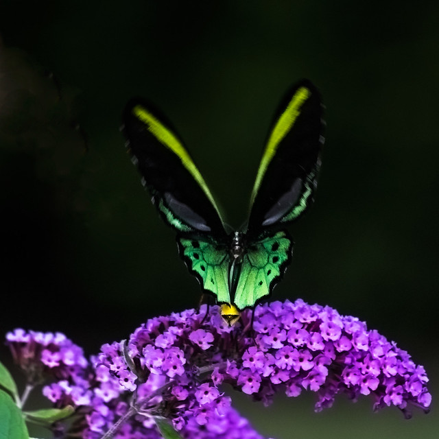 Cairns Birdwing Butterfly.
