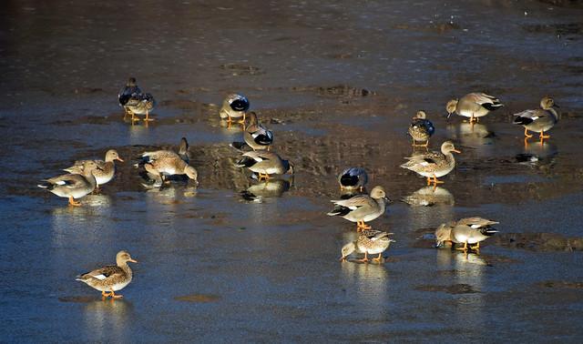 Ice Fishing Ducks