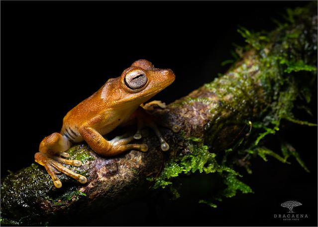Troschel's Treefrog