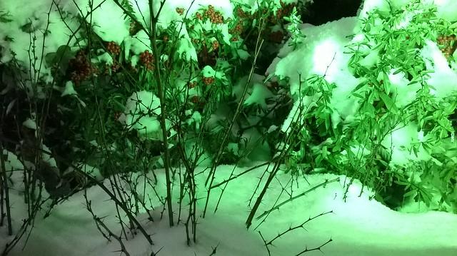 kokina flowers in snow