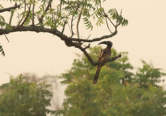 African grey hornbill, Shai Hills Resource Reserve in Ghana