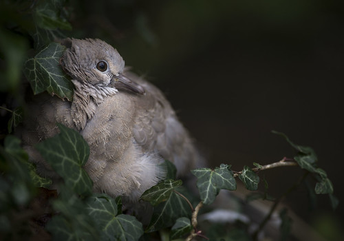 Fledgling | by dr.shutter