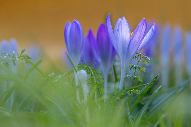 Обои трава, макро, крокусы, боке, шафран картинки на рабочий стол, раздел цветы - скачать