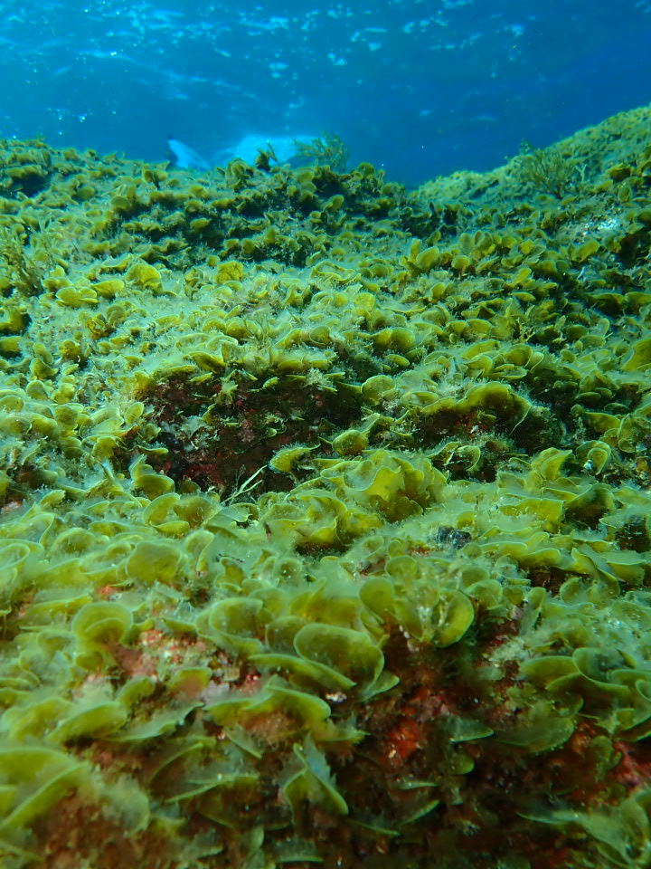 Turf of seaweeds in the shallows, mainly Lobophora variegata