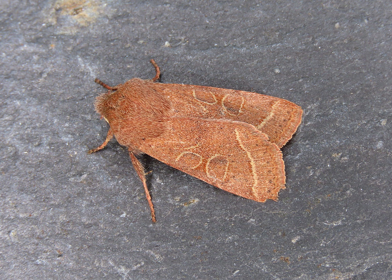 73.244 Common Quaker - Orthosia cerasi