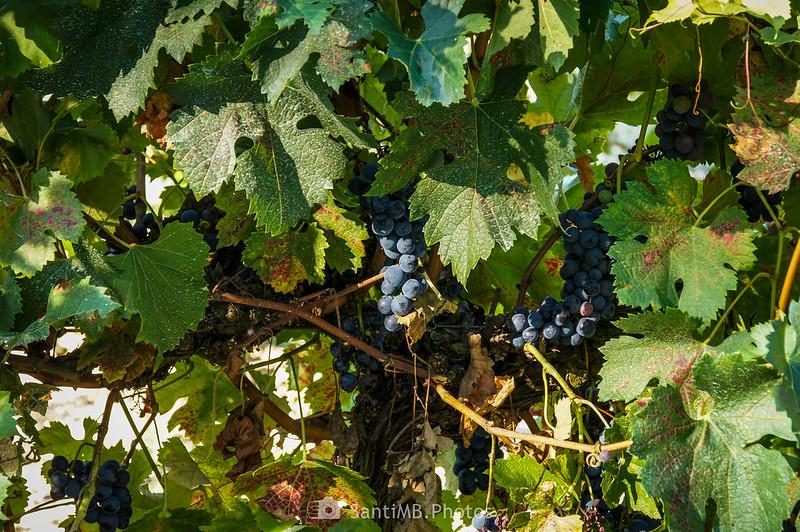 Uva negra del viñedo de La Fonteta de Viladellops