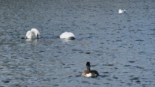 Courtship dance, swan pair, West Park boating lake