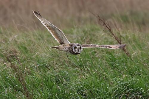 Short-eared Owl Parkgate 230319b