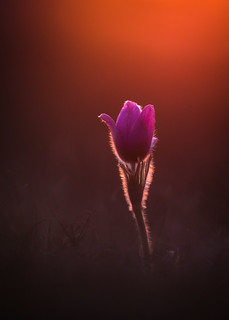 Pulsatilla vulgaris sunset | by der LichtKlicker