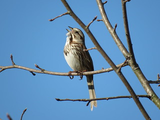Song Sparrow | by mggoodwin56