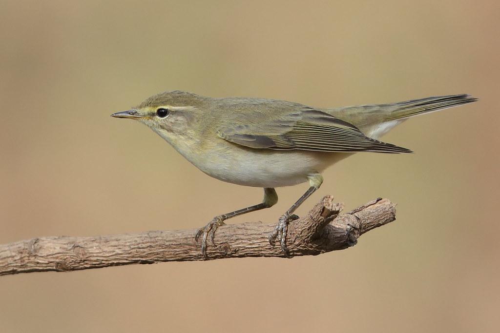 Melodious Warbler  Hippolais polyglotta