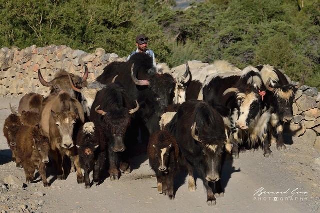 Les yaks avancent à un rythme soutenu, vallée de Chapursan, vers Sost puis Gilgit