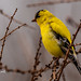 American Goldfinch - First of the season by Stu McCannell