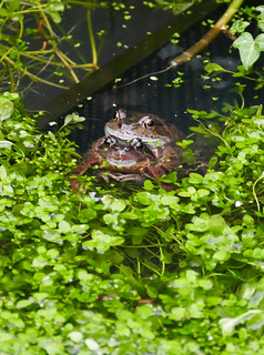 Frogs Feb18  2019 | by http://wildaboutthebritishisles.uk