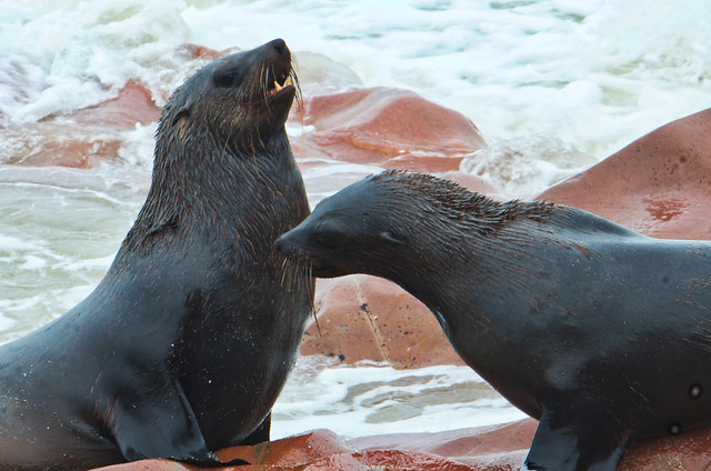 Fighting seals - Cape cross - Namibia