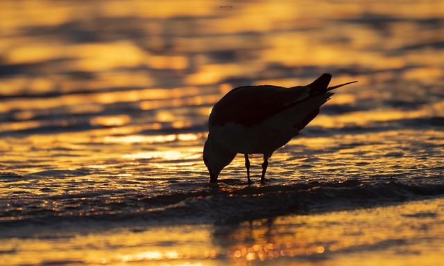 Golden Gull.