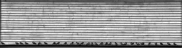 Thirty pigeons