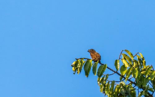 barbetstinkerbirds birds graythroatedbarbet kibale kibalecommunityandswamp places uganda
