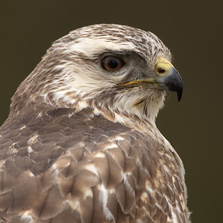 Buzzard | by peterspencer49