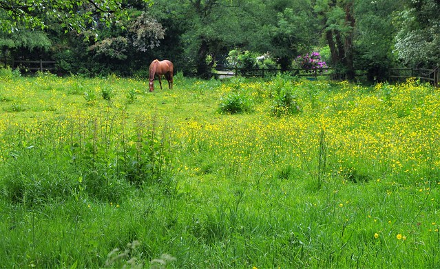 Horse and Buttercups.