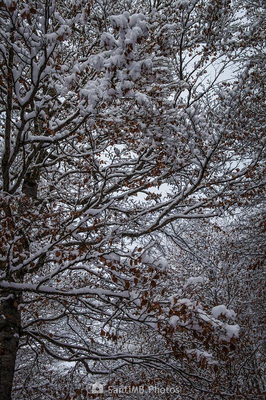 Nieve en una haya en el Bòsc de Conangles