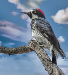 Acorn Woodpecker #2