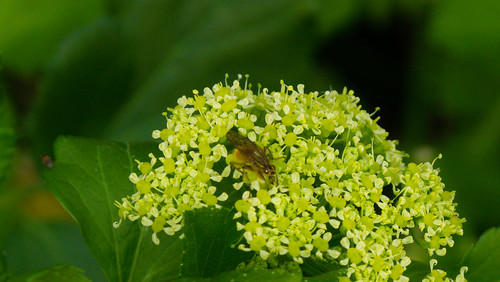 Alexanders flowers with small insect