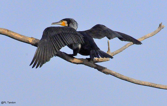 Cormorant: ready for take-off
