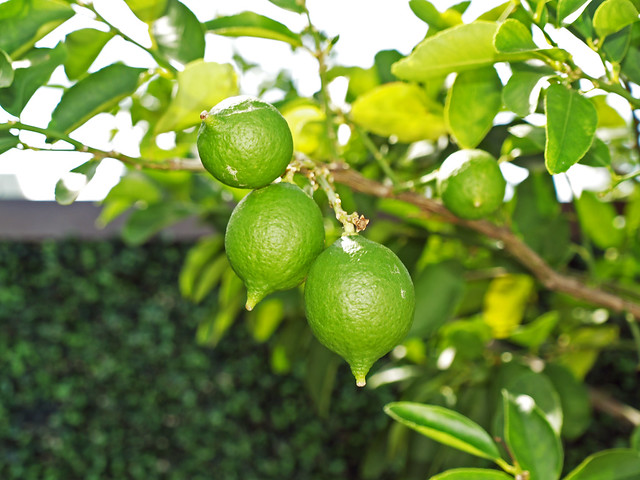 Lime Tree; South Beach, Florida
