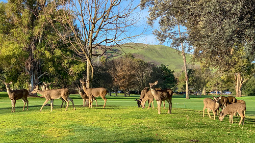 Lots of Deer on the Golf Course