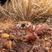 Thick-tailed Gecko (Underwoodisaurus milii) by elliotbudd
