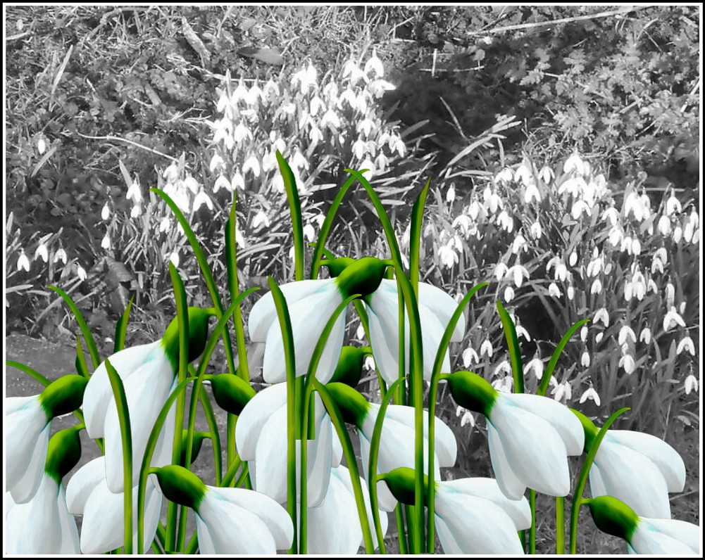 Snowdrops Composition..