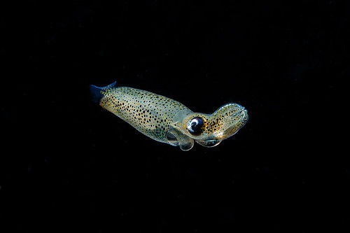 Juvenile squid | by Luko GR