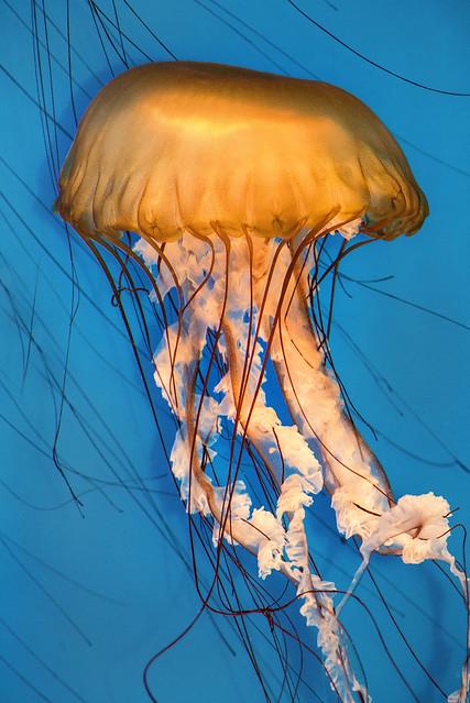 NA Jellyfish 3-0 F LR 3-4-19 J235