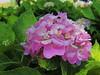Wednesday Hydrangea by npbiffar