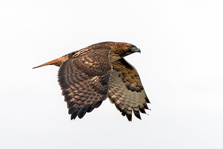 Hawk in Flight #155   by lennycarl08