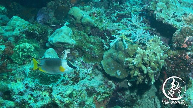 アンダマンフォックスフェース。アンダマン海固有種♪