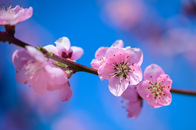 Little peach blossoms 🌸