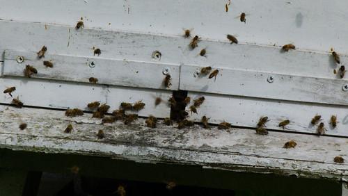 First flight of the morning: honeybees