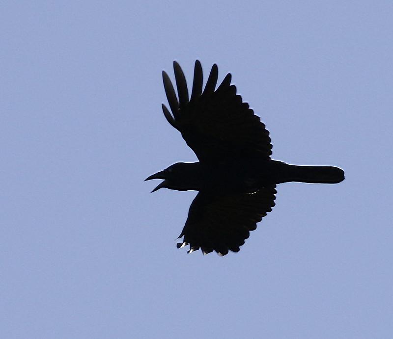 (Cuban) Palm Crow, Corvus palmarum Ascanio_Cuba 1 199A3756