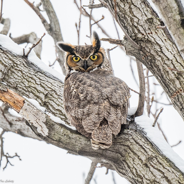 Great Horned Owl in snow (Male)