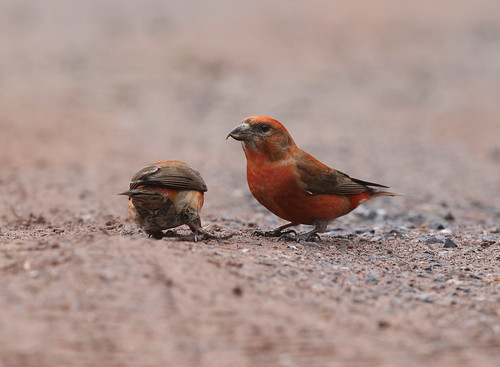 Red Crossbill | by Ezra Peregrine