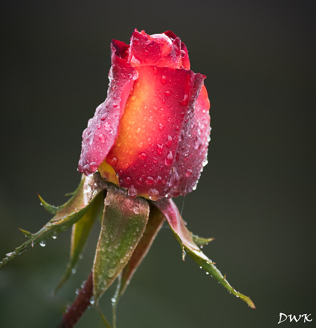 Raindrops on Roses are a Few of my Favorite Things