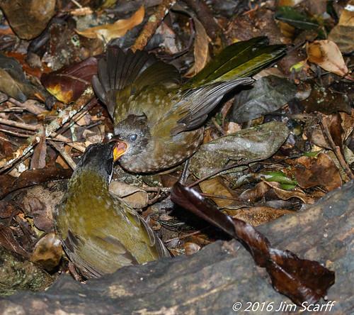 Adult Eastern Whipbird feeding an juvenile bird | by Jim Scarff