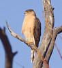 Cooper's hawk at Morongo Canyon by piranhabros
